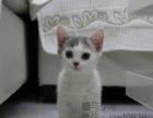 家养矮脚猫妹妹短腿猫出售 希望找到安稳的家