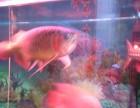 出售一条红龙鱼