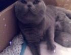 【临沂喵星乐园】英国短毛猫蓝猫弟弟要出窝了预定中