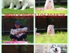 天津出售精品纯种健康阿拉斯加幼犬雪橇犬一送用品