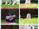 深圳哪里有卖博美犬 纯种博美价格 宠物狗博美