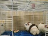 超级 可爱 小 豚鼠 (荷兰猪) 两只 转让