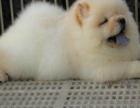 出售纯种憨厚可爱的松狮宝宝