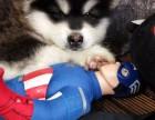 惠州哪里有宠物狗卖阿拉斯加幼犬出售 带证书