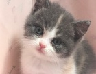 英国短毛猫各种花色都有
