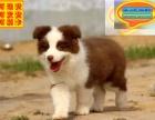 哪里有边境牧羊犬出售 边境牧羊犬多少钱一只 在哪里