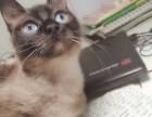 泰国暹罗猫一只,因影响孩子学习,现出售