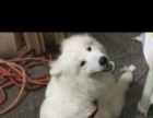 低价出售银狐犬