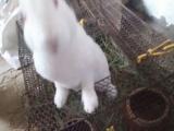 割爱,大白兔子