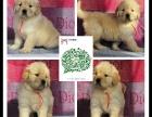 大连出售2 4个月幼犬(金毛)疫苗齐签协议