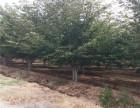 宜春50公分法桐树基地全天发货