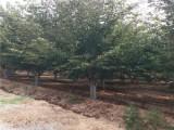 宁波去哪买超低价格法桐树 质量保证