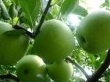 山东苹果基地大量批发苹果乔纳金
