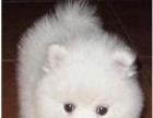 纯种银狐犬幼犬转让啦 小银狐犬是非常懂事也很乖