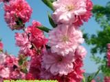 观赏桃花树苗紫叶碧桃大树
