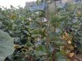 山东沂水优质苗木出售