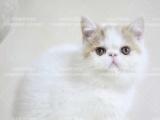 纯白加菲猫找长期饭票~多只可选 包纯种健康可上门看
