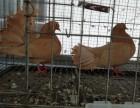 观赏鸽的价格观赏鸽出售