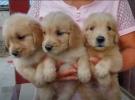 买狗送用品 家养纯种金黄色金毛幼犬转让,品相好