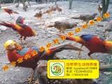 珍野高档观赏珍禽养殖场直销