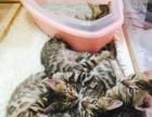 2个半月孟加拉豹猫3公2母找新家啦