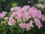 三角梅 上海地区配送 免费栽种 设计庭院