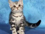 美國短毛加白貓包郵出售