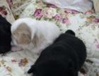 1个月的秋田犬10000元(母)