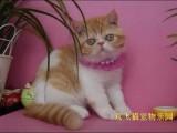 上海广州深圳北京加菲金吉拉豹蓝暹罗无毛猫哪家好 双飞猫