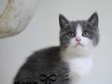 英短银渐层 纯种英短蓝白宝贝 纯种 幼猫英短蓝白幼