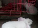 新西兰肉兔子种兔