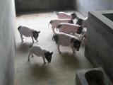 今日香猪价格 正宗巴马香猪多少钱一只