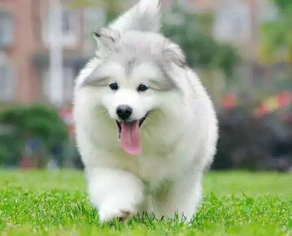 北京哪里出售纯种阿拉斯加犬幼犬巨型雪橇犬北京阿拉斯加多少钱