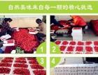 正宗烟台福山大樱桃,新鲜上市,顺丰包邮,特价促销