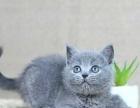 极品蓝猫,已做疫苗驱虫,签协议,保健康终身售后
