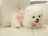 聪明易训宠物 纯种博美犬 常年销售一签协议包健康