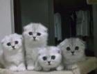 家养纯种的折耳幼猫一窝出售公母都有疫苗驱虫已做