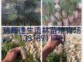 云浮哪里有速生杉苗 杉木新品种8年能成材亩产达13至15立方
