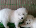 自家小型狗舍 出售宠物狗狗十多个品种有喜欢的可以来