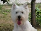 哪里有卖西高地白梗犬有卖西高地犬—俏皮可爱小型家养