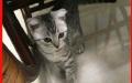 求您帮忙照顾三个月大折耳猫