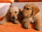 成都精品寵物繁殖基地長期出售金毛幼犬 保證品質健康