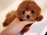 成都泰迪犬免费送货 终身质保,纯种健康签协议