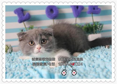 出售纯种蓝猫宝宝自家繁殖-品质保证-健康纯种