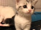 曼基康矮脚猫短脚猫宠物猫活体幼崽拿破仑矮