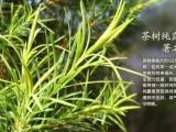 植物纯露OEM加工定制100%天然澳洲茶树纯露
