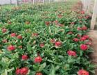 平顶山草花系列长春花时令花卉长春花出售四季草花长春花供应