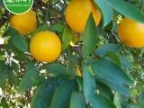 脐橙 酸橙 新鲜榨汁饮品 南非进口鲜果批发供应
