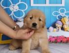 纯种金毛幼犬宝宝出售 品质可靠 疫苗齐全