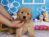 纯种金毛犬 欢迎上门 送全狗用品 健康签协议